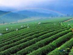 茶叶是碱性的还是酸性的?