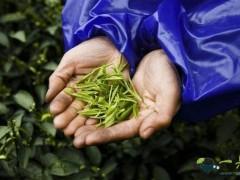 茶叶现在成为生活中必需品,该如何辨别茶叶的好坏