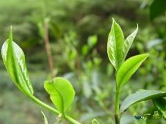 到底有没有茶叶保质期一说?