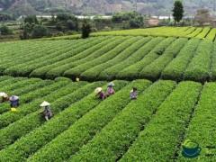 引领茶香小镇文化建设,推动农文旅融合发展 ——新兴镇第六届茶叶文化节