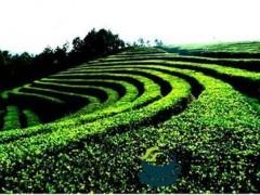 万州扛起茶产业发展大旗茶叶综合产值5亿元