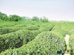 年产值超3亿元!海青镇这样用一片茶叶成就一个产业
