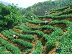 中国茶产业峰会在福建召开 发布安溪铁观音最新研究成果
