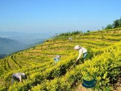 """为2000亩稀缺茶品种注入孝道文化 高县""""品""""出不一样的茶产业"""