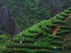中国区域农业品牌茶产业影响力排行榜出炉 武夷岩茶居首