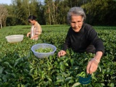 贺州:发展茶产业加工企业141家