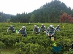 """湖南安化:以""""茶""""为基 推进茶旅文康融合发展"""