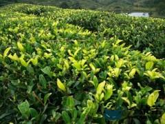 改良茶树品种 促进茶产业提质增效