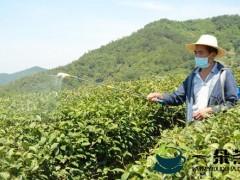 推进茶叶病虫害统防统治