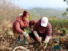 茶产业助力脱贫致富