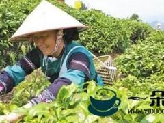 茶产业托起云南民族地区脱贫致富梦