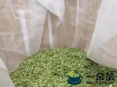 雅安雨城区:鲜叶市场你来我往 春茶采摘交易忙