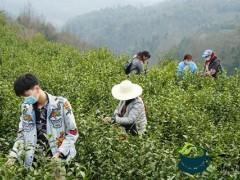 金沙县:春风十里满眼绿 茶叶采摘正当时
