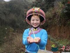 """摘下致富""""黄金芽"""" 浙江安吉扶贫茶在贵州正式开采"""