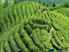 台州临海化零为整 帮助中小农户卖茶