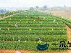 疫情之下,最棘手的是采茶人手短缺 多措并举,长兴茶产业破困局迎新生