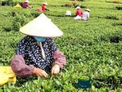 广西茶产业力争实现产值700亿元