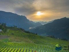 湖北恩施市:33.5万亩茶叶全面开采