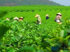 """提升""""免疫力""""推动茶产业升级"""