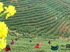 """春茶迎采摘 茶农万亩茶林间谱""""春曲"""""""