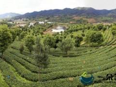 一片小茶叶 一个大产业