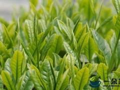 千亩茶园 今年茶叶年产量有多少?