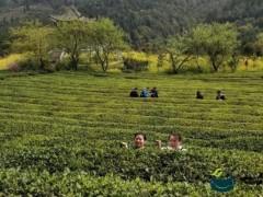 第四届古丈茶旅文化节举行