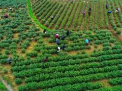 光山:种植茶叶富全村