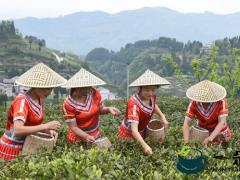 仙人山下茶飘香  营坪山上采茶忙