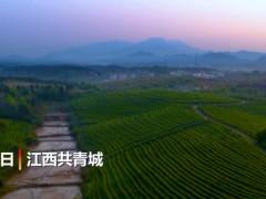 """江西共青城:""""谷雨茶""""采摘正当时"""