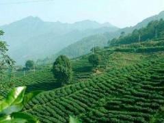 黄山茶叶都有哪些品种?