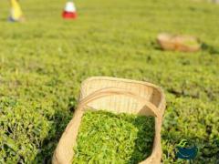 湖北浠水绿杨用足用活山林资源做大做强茶产业