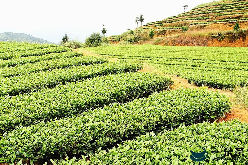 安溪乌龙茶文化的发展历史