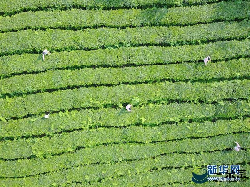 铜仁189万亩茶园助农增收