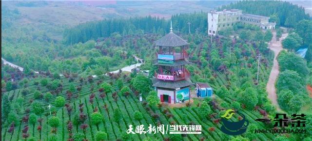 为贵州茶打CALL!著名歌唱家韩磊在清镇认领了半亩茶