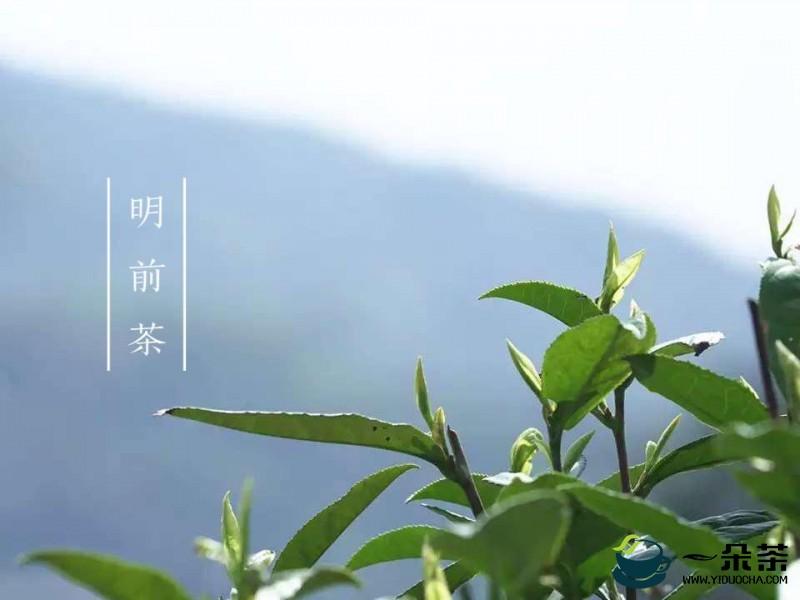 国家级茶叶专家赴宣恩县指导茶尺蠖虫害防治
