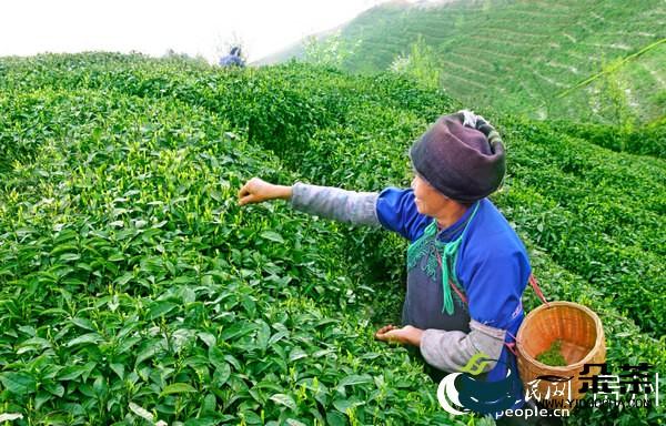 茶香迎客   都匀茶旅融合走出绿色致富路