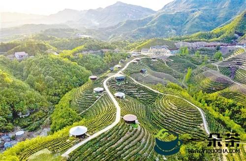 2019年我国干毛茶年产值2300亿元,同比增长12%左右—— 茶产业扮靓乡村富万家