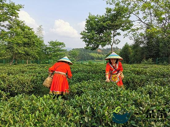 福建建阳:发展小白茶产业 打赢脱贫攻坚站