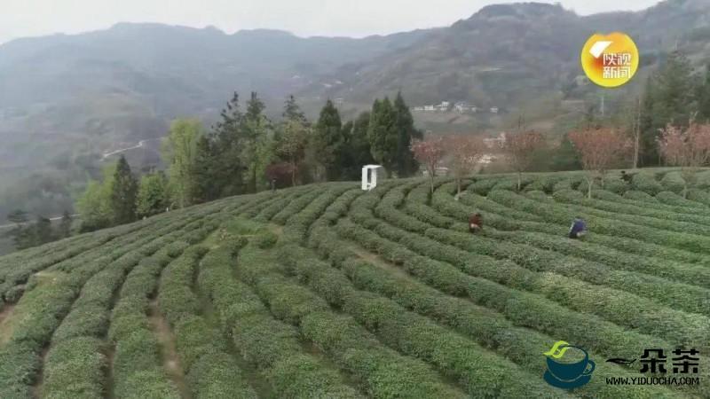 铜仁:百万亩茶园带动四万贫困村民脱贫
