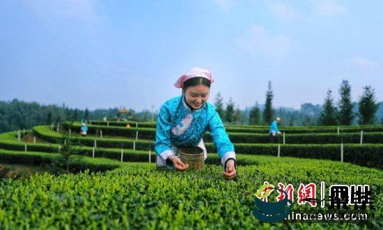 """泸州纳溪: """"茶酒小镇""""为乡村振兴插上腾飞的翅膀"""