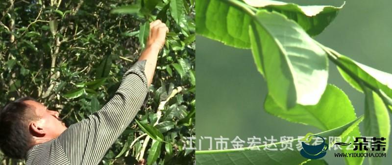 茶叶——养生之佳品,滋养中国人