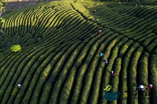 采茶工:为茶辛苦为茶甜