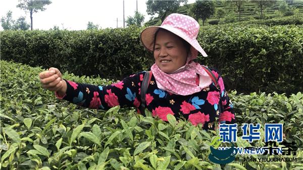 """丹寨县:""""扶贫茶园""""让村民看到了希望"""