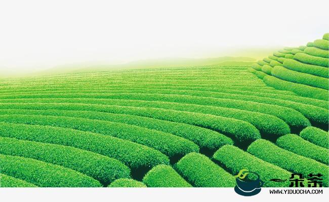 绿色茶园让粤北农户走上红火致富路