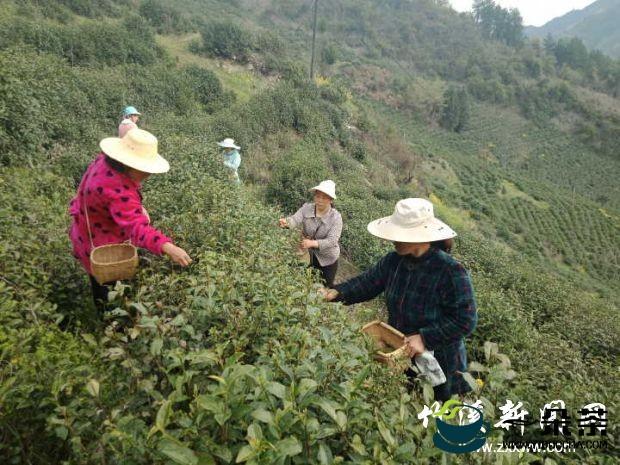 广元:茶产业已成全市助农增收的主导产业