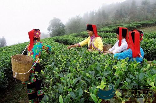 农民采茶喜收成
