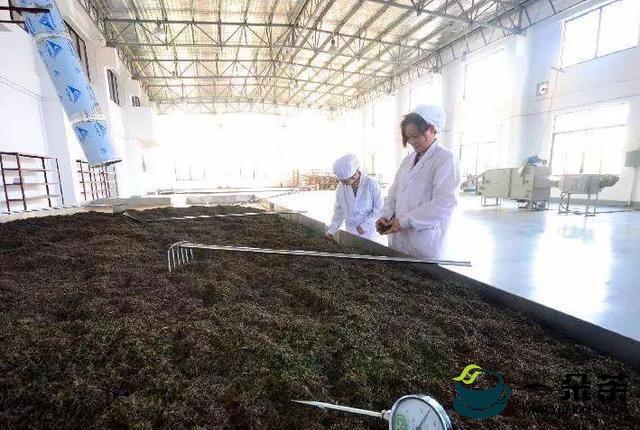渥堆:普洱熟茶的X因素