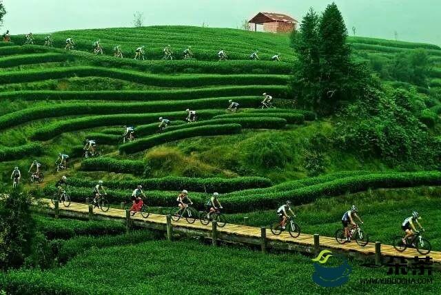 一缕茶香飘四海——湄潭县茶产业发展扫描